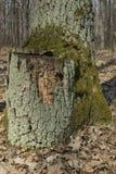 Coto de árvore musgoso velho Imagens de Stock Royalty Free