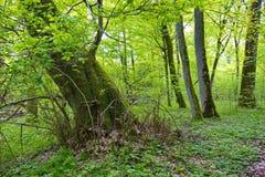 Coto de árvore quebrado velho do Linden vivo Fotos de Stock Royalty Free