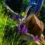 Coto de árvore velho Foto de Stock Royalty Free