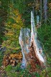 Coto de árvore velho Fotos de Stock