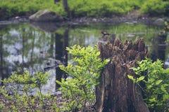 Coto de árvore velho na frente do pântano da floresta, árvores refletidas fotos de stock