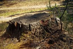 Coto de árvore velho nas madeiras Coto de árvore da floresta Fotos de Stock