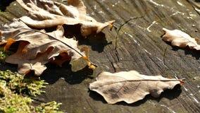 Coto de carvalho na floresta video estoque