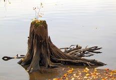 Coto de madeira velho na água Imagens de Stock Royalty Free