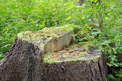 Coto de uma árvore velha Fotografia de Stock Royalty Free