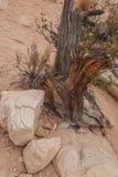 Coto e rochas velhos de árvore na garganta vermelha da rocha Fotografia de Stock