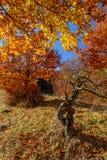 Coto interessante no coto ensolarado da floresta do outono atrás de outonal Imagem de Stock