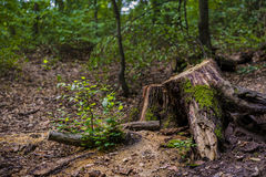 Coto na floresta Fotografia de Stock Royalty Free