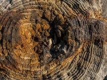 Coto seco velho com musgo Fundo de madeira da textura Textura da madeira de Brown Fundo de madeira natural bonito fotos de stock