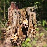 Coto velho com cogumelos Fotografia de Stock