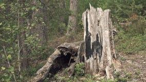 Coto velho em uma floresta filme