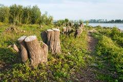 Cotoes de árvore nos bancos de um rio Foto de Stock