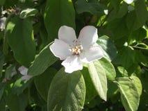Cotogna del fiore Fotografie Stock