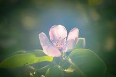 Cotogna del fiore su un albero Fotografie Stock