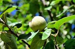 Cotogna della frutta Immagini Stock
