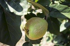 Cotogna delle mele che appende nell'albero Una collezione di mele aromatizzate frutta Fotografia Stock Libera da Diritti