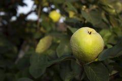 Cotogna delle mele che appende nell'albero Una collezione di mele aromatizzate frutta Immagine Stock Libera da Diritti
