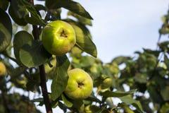Cotogna delle mele che appende nell'albero Una collezione di mele aromatizzate frutta Fotografie Stock Libere da Diritti