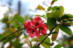 Cotogna di fioritura Fotografie Stock