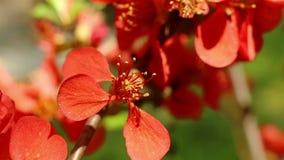 Cotogna di fioritura Cydonia oblonga archivi video
