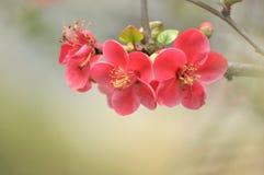 Cotogna giapponese del fiore Immagini Stock