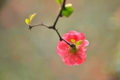 Cotogna giapponese del fiore Fotografie Stock