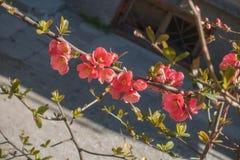Cotogna rossa di fioritura Fotografie Stock