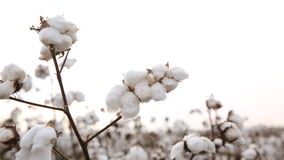 coton image stock