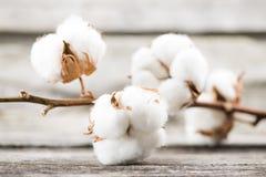 coton Photographie stock libre de droits