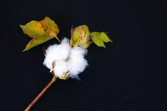 Coton cru Image libre de droits