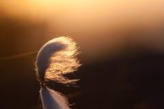 Coton dans le crépuscule Photo libre de droits