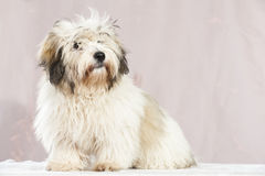 Coton de tuléar dog Royalty Free Stock Photo