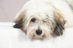 Coton de tuléar dog Royalty Free Stock Image