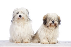 Coton de tuléar dogs Royalty Free Stock Photos