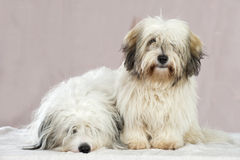 Coton de tuléar dogs Royalty Free Stock Image