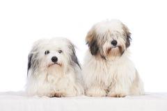 Coton de tuléar dogs Royalty Free Stock Images