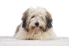 Coton de tuléar dog Royalty Free Stock Images
