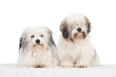 Coton de tuléar dogs Royalty Free Stock Images