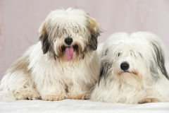 Coton de tuléar dogs Stock Photo