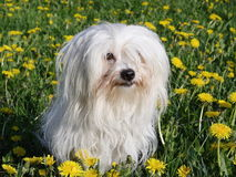 Coton de Tulear Royalty Free Stock Photos