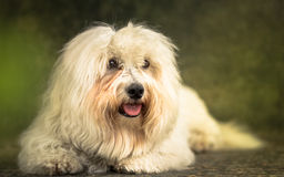 Coton de Tulear Photo stock