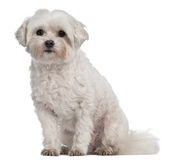 Coton de Tulear, 7 years old, sitting Stock Photography