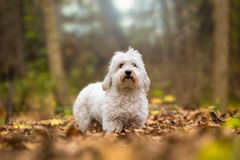 Coton de Tulear autumn portrait Stock Images