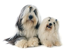 Coton de tulear and bearded collie Stock Image