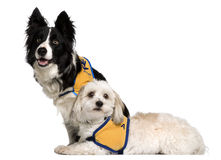 Coton de Tulear and a Border Collie sitting Royalty Free Stock Photos