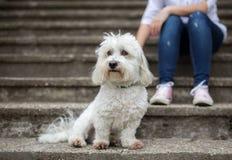 Coton de Tulear Dog开会 免版税图库摄影