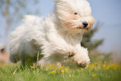 Coton de Tulear dog Royalty Free Stock Image