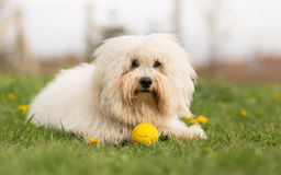 Coton de Tulear dog Royalty Free Stock Photos
