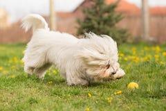 Coton de Tulear dog Stock Photos