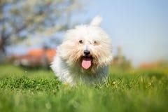 Coton de tulear dog portrait Stock Photos